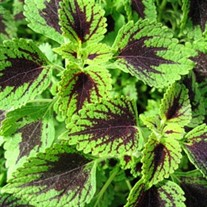 'Tell Tale Heart'  Coleus