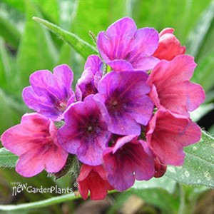 'Raspberry Splash' Lungwort