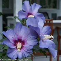 Azurri Blue Satin®  Rose of Sharon