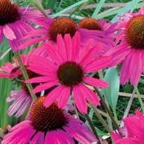 'Dixie Belle'  Coneflower
