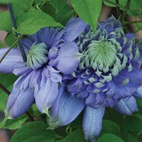 'Blue Light'® Clematis