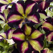 Crazytunia® Pulse
