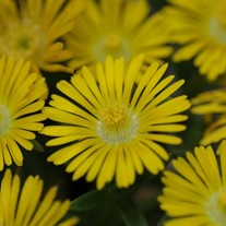 Delosperma 'Golden Wonder' Wheels of Wonder™ Ice Plant