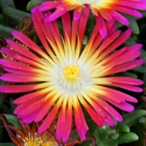 'Hot Pink Wonder' Wheels of Wonder™ Ice Plant