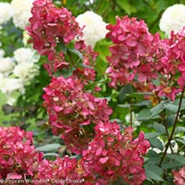 Fire Light®  Hydrangea
