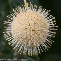Sugar Shack Dwarf Buttonbush