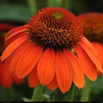 Sombrero® 'Flamenco Orange' Coneflower