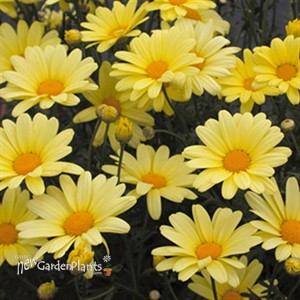 'Butterfly' Yellow Argyranthemum