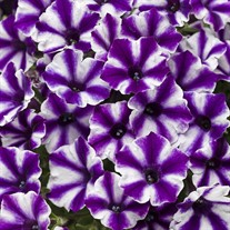 Supertunia® 'Violet Star Charm'