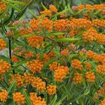 Butterfly Weed Tuberosa