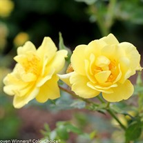 Oso Easy® Lemon Zest Landscape Rose Rosa x