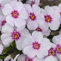 'Coral Eye'  Creeping Phlox