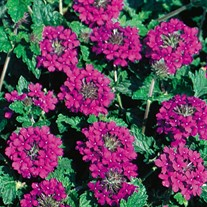 'Homestead Purple'