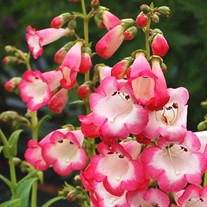 Penstemon 'Watermelon Taffy'