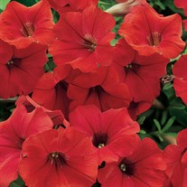 Surfinia® 'Deep Red'