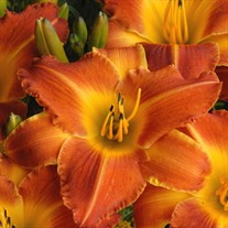 'Bright Sunset' Daylily