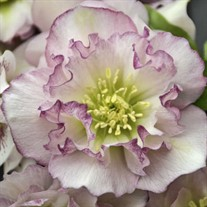 Helleborus 'Flower Girl' WEDDING PARTY™ Series