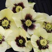 Helleborus 'Spanish Flare' HONEYMOON™ Series