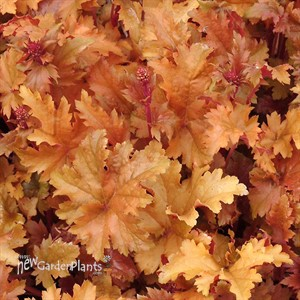 'Amber Waves'  Coral Bells
