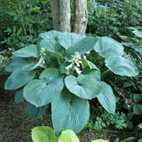 Hosta 'Blue Umbrella'