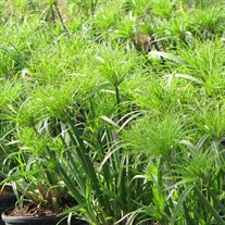 Cyperus Umbrella Palm Plant