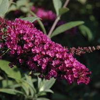 Buddleia Buzz™ 'Velvet' Buddleja