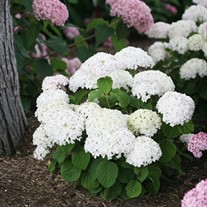 Invincibelle Wee White  Smooth hydrangea