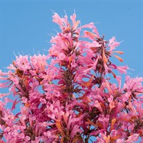 Agastache Acapulco® Salmon & Pink