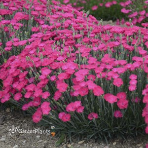 Dianthus 'Paint the Town Magenta'