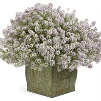 Blushing Princess Sweet Alyssum Lobularia hybrid