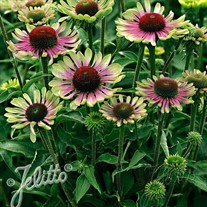'Green Twister'  Coneflower