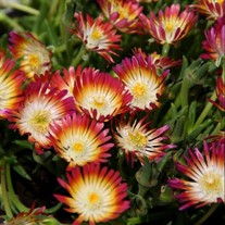 'Ruby' Jewel of Desert Delosperma