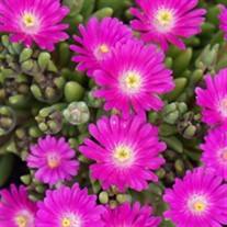 'Opal' Jewel of Desert Ice Plant