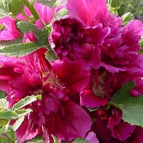 'Queeny Purple' Hollyhock