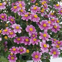Bidens 'Pretty In Pink'