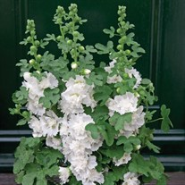 'Spring Celebrities White' Holly Hock