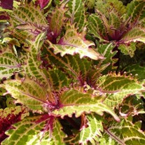 Coleus Peter's Wonder
