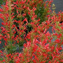 Agastache 'Kudos Red'