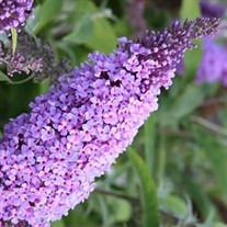 'Buzz Lavender' Butterfly Bush