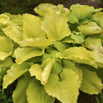 Hosta 'Coast to Coast'  Proven Winers pp26469 CPBRAF SHADOWLAND Collection