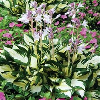 Fire and Ice' Hosta