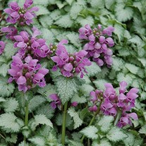 Lamium Orchid Frost  Spotted Dead Nettle