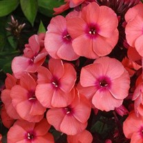 Phlox p. 'Younique Orange'