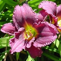 'Little Grapette'  Daylily