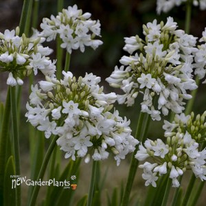 Agapanthus 'Galaxy White' Galaxy Collection