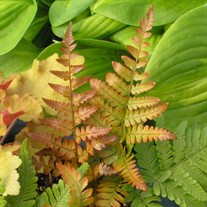 Fern 'Brilliance'