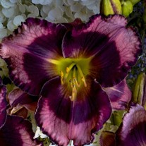 Hemerocallis 'Storm Shelter' RAINBOW RHYTHM® Collection