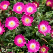 Delosperma Jewel of Desert 'Amethyst'
