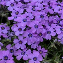 Phlox s. 'Eye Shadow'
