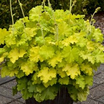 Heuchera 'Lemon Love' PPAF
